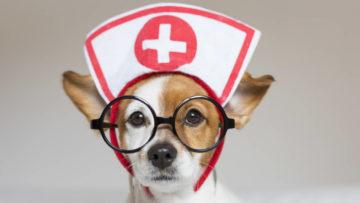 Ritratto di un cane piccolo carino seduto sul letto. Indossa stetoscopio e occhiali. Sembra un dottore o un veterinario. Casa, interni o studio. Sfondo bianco.